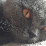 Vasilissa - british shorthair gris